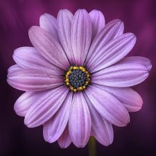 Purple Flower1